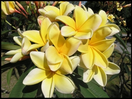 International Plumeria