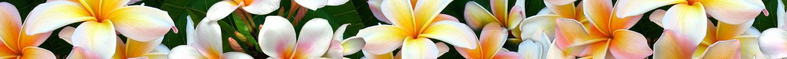 exotic-plumeria-flowers