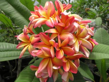 Floridian Plumeria