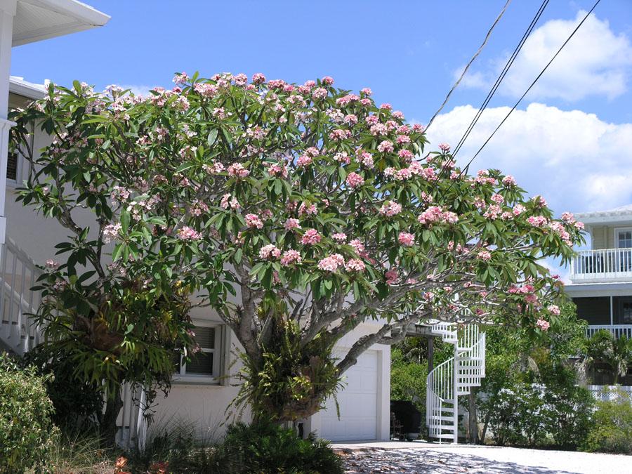 Plumeria Trees The Exotic Plumeria