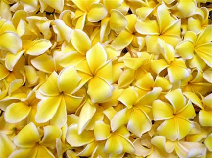 plumeriaflowers