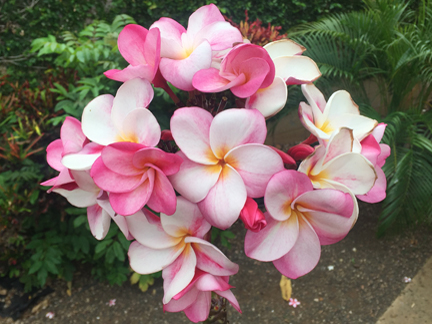 Plumeria buy online direct from the grower the exotic plumeria mightylinksfo Choice Image