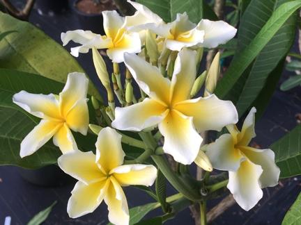 "Plumeria//Frangipani//Flowers///""Candylemon/""//50 seeds"