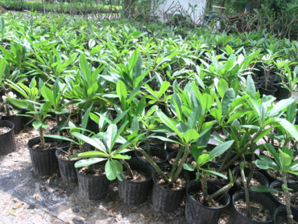 Rooted Plumeria plants