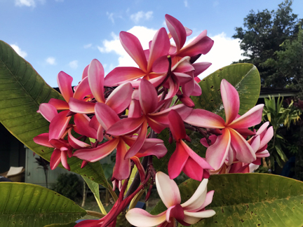 Plumeria Specials for 30th Anniversary