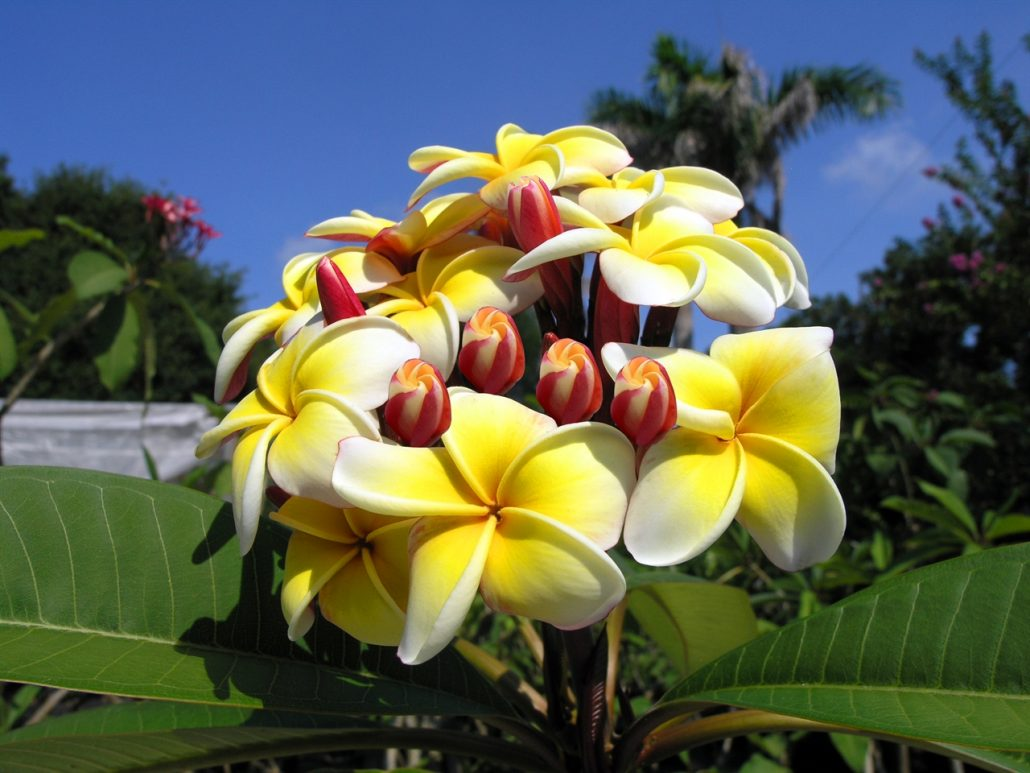 Plumeria buy online direct from the grower the exotic plumeria plumeria helpful hints izmirmasajfo