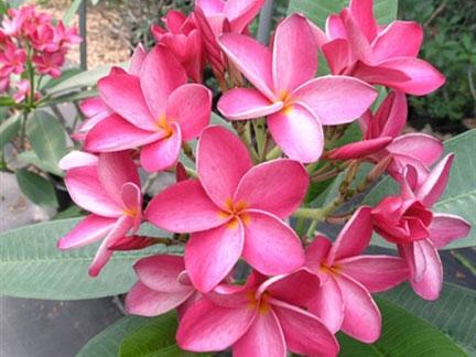 Miami Rose