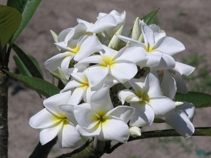 Bridal White